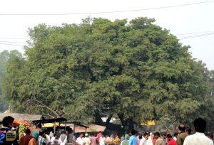 তেঁতুলিয়া বাজারের মহীরূহ: তেঁতুল তলা (ছবি: লেখক)
